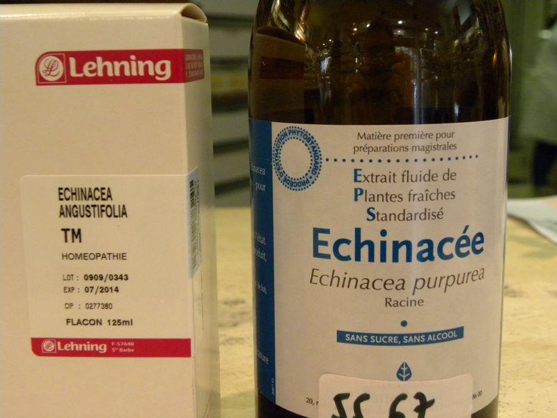 Echinacee2