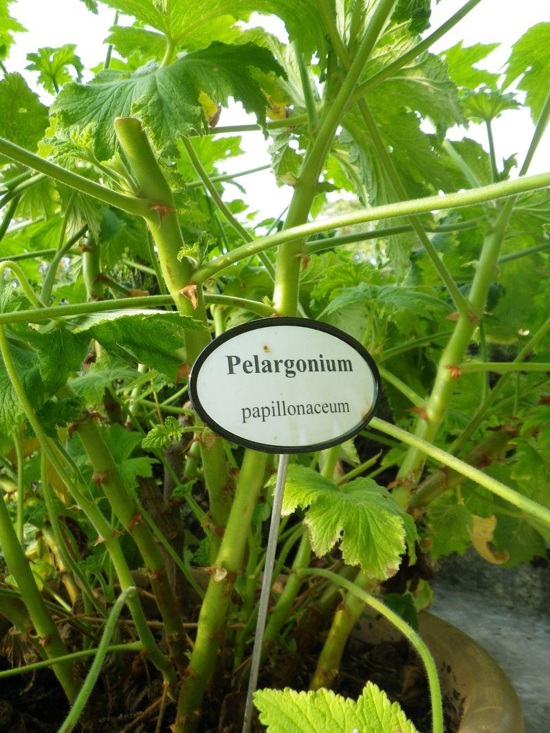 Géranium pelargonium