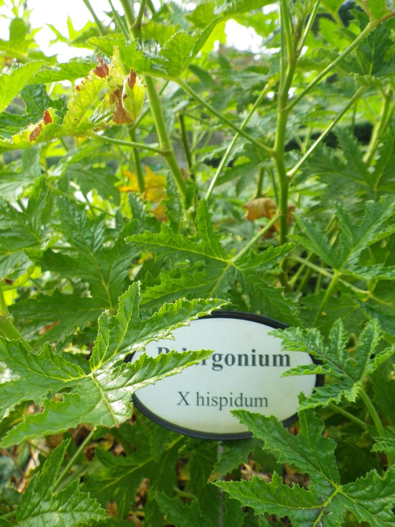 Géranium pelargonium1