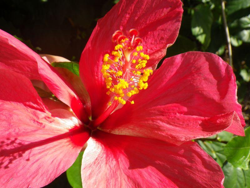 Hibiscus fleur1