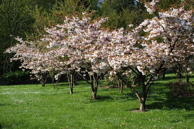 Breteuil-cerisiers-du-japon