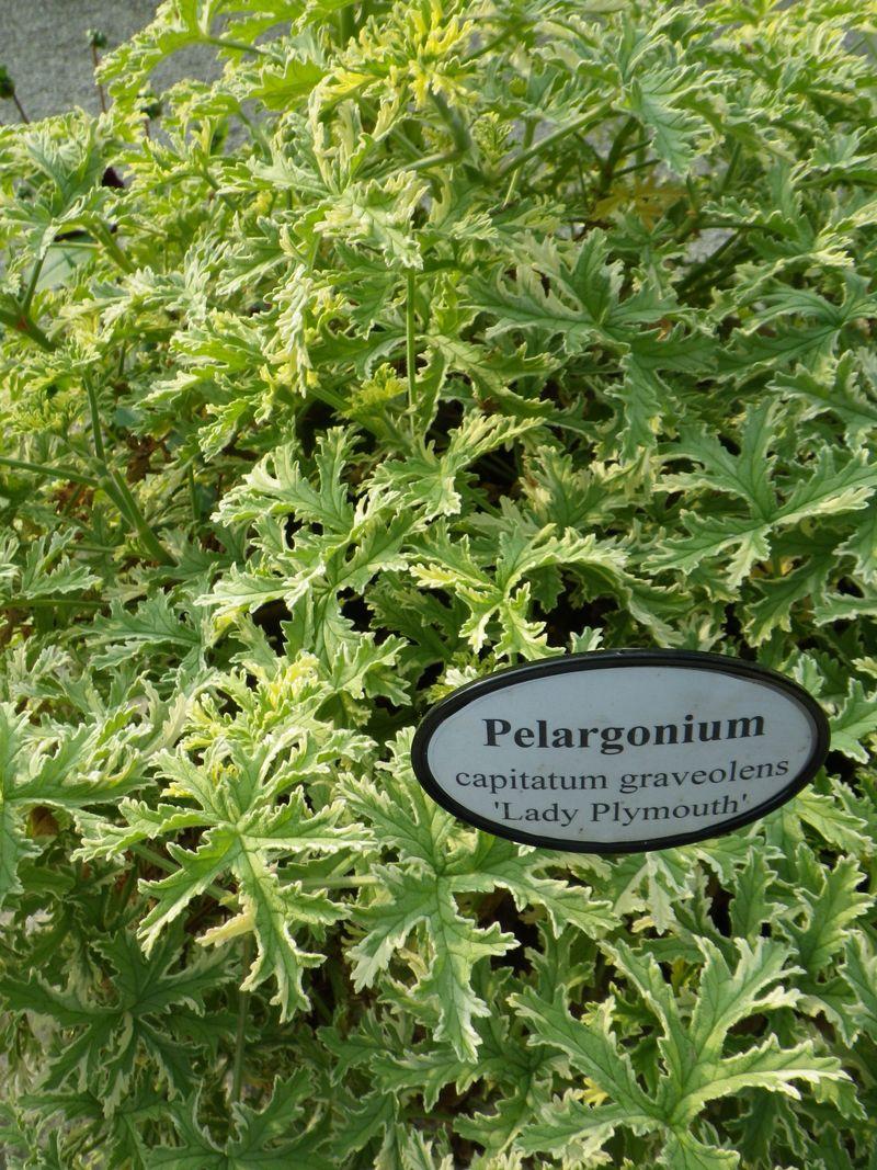 Géranium pelargonium3